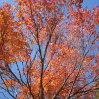 Maple - red, sky_0.JPG
