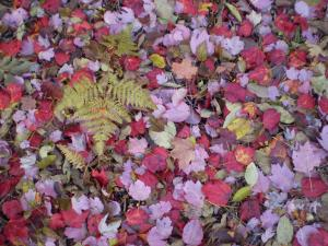 maple leaves on ground smaller.jpg